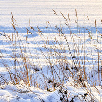 52 - Grasses in the Snow