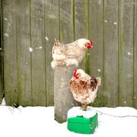 1 - Chickens at Hatch