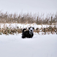40 - Snow Dog